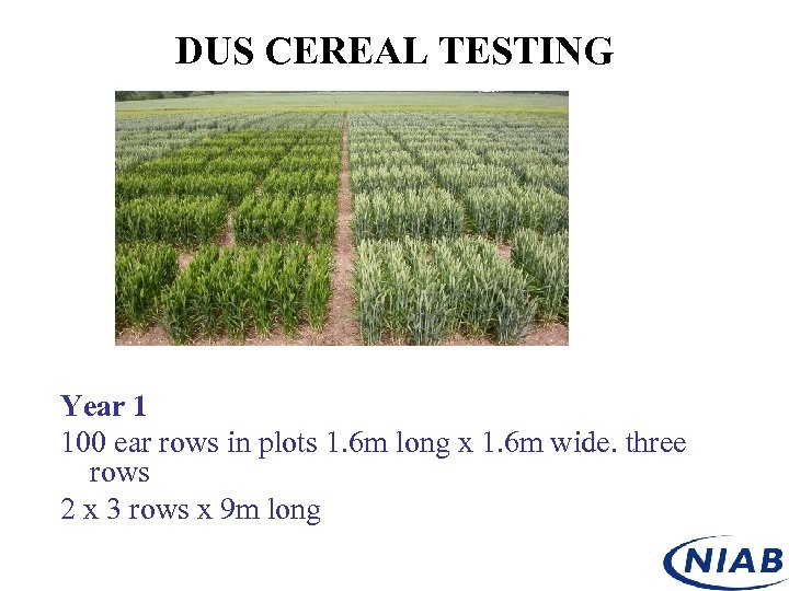 DUS CEREAL TESTING Year 1 100 ear rows in plots 1. 6 m long