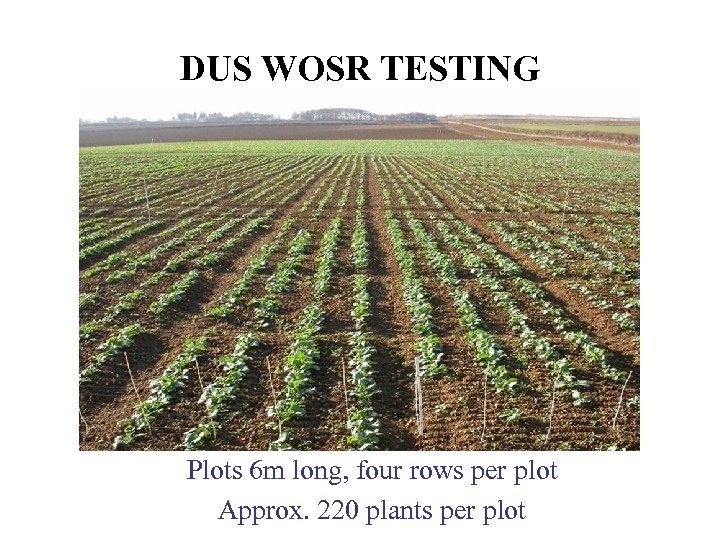 DUS WOSR TESTING Plots 6 m long, four rows per plot Approx. 220 plants