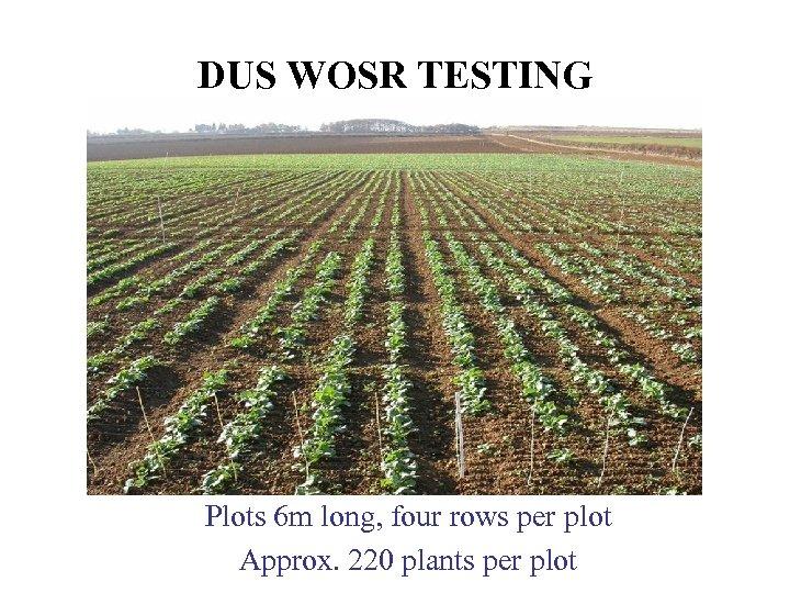 DUS WOSR TESTING Plots 6 m long, four rows per plot Approx. 220 plants