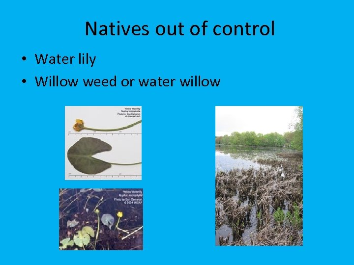 Natives out of control • Water lily • Willow weed or water willow