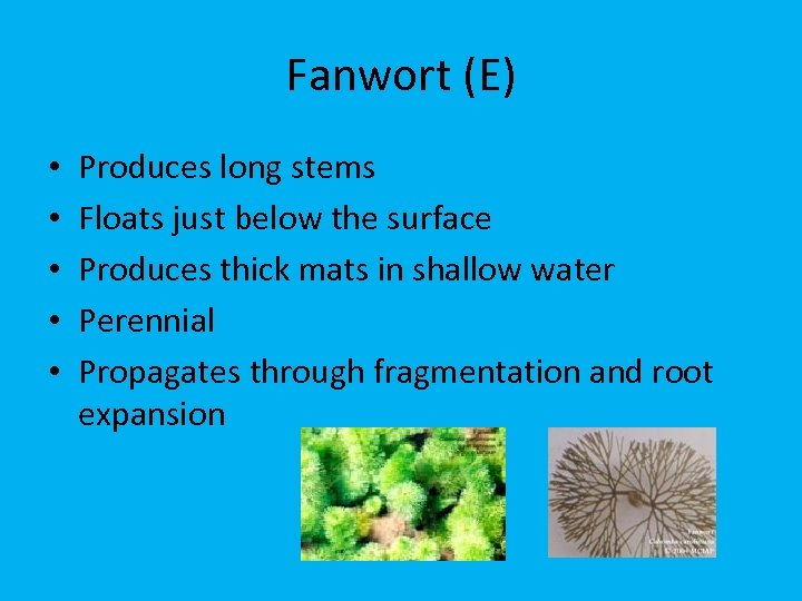 Fanwort (E) • • • Produces long stems Floats just below the surface Produces