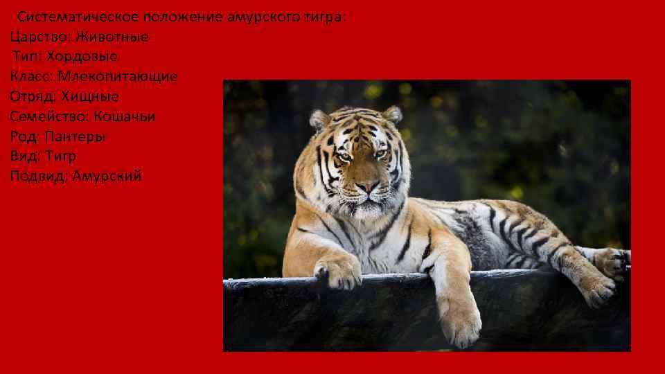 Систематическое положение амурского тигра: Царство: Животные Тип: Хордовые Класс: Млекопитающие Отряд: Хищные Семейство: Кошачьи