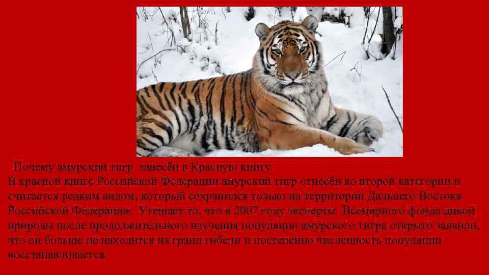 Почему амурский тигр занесён в Красную книгу В красной книге Российской Федерации амурский тигр