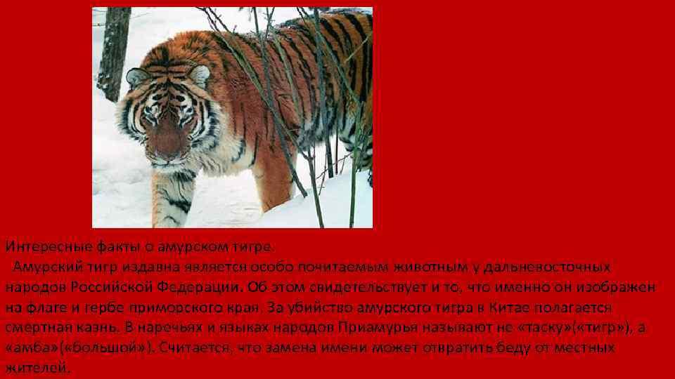 Интересные факты о амурском тигре. Амурский тигр издавна является особо почитаемым животным у дальневосточных