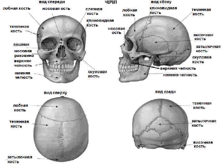этого, синтаны строение черепа человека фото с описанием свой