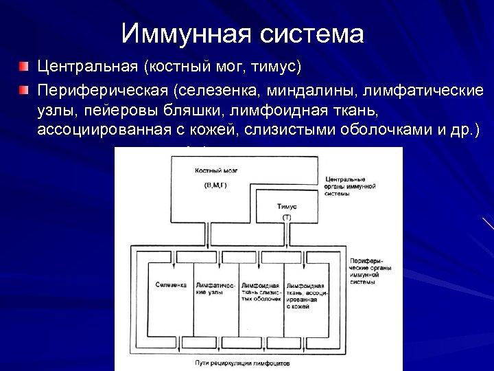 Иммунная система Центральная (костный мог, тимус) Периферическая (селезенка, миндалины, лимфатические узлы, пейеровы бляшки, лимфоидная