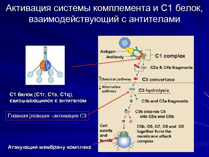 Активация системы комплемента и С 1 белок, взаимодействующий с антителами C 1 белок (С