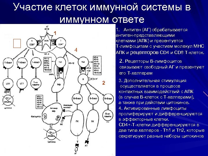 Участие клеток иммунной системы в иммунном ответе 1. Антиген (АГ) обрабатывается антиген-представляющими клетками (АПК)