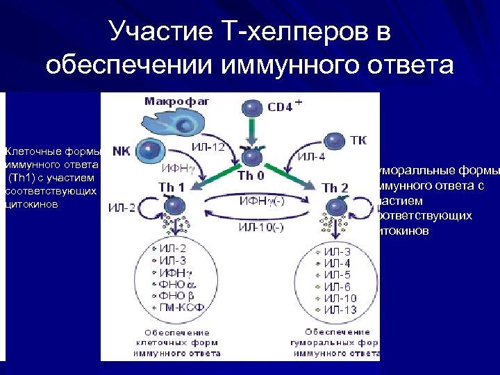 Участие Т-хелперов в обеспечении иммунного ответа Клеточные формы иммунного ответа (Th 1) c участием