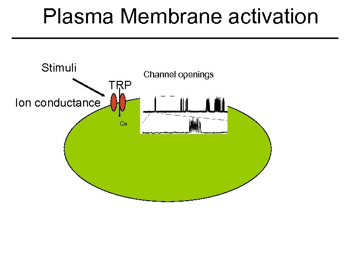 Plasma Membrane activation Stimuli TRP Ion conductance Ca Channel openings