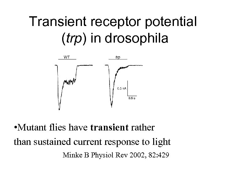 Transient receptor potential (trp) in drosophila • Mutant flies have transient rather than sustained