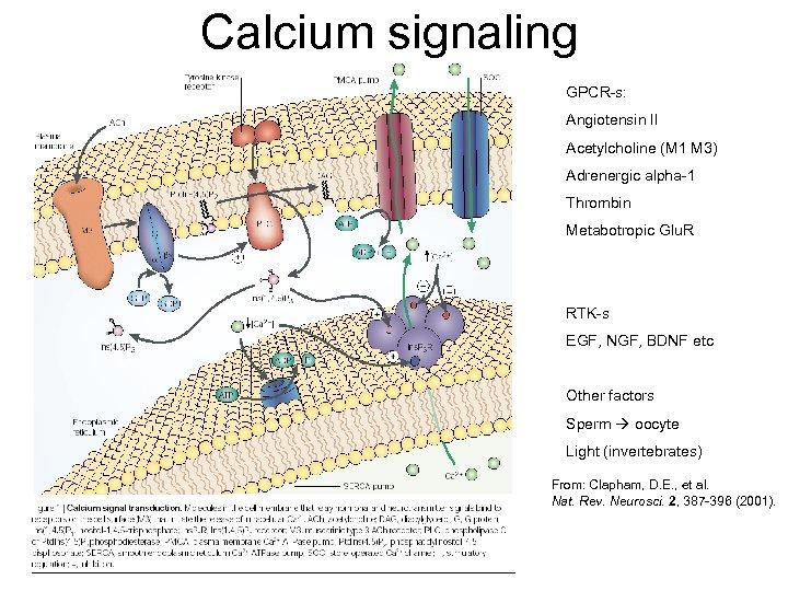 Calcium signaling GPCR-s: Angiotensin II Acetylcholine (M 1 M 3) Adrenergic alpha-1 Thrombin Metabotropic