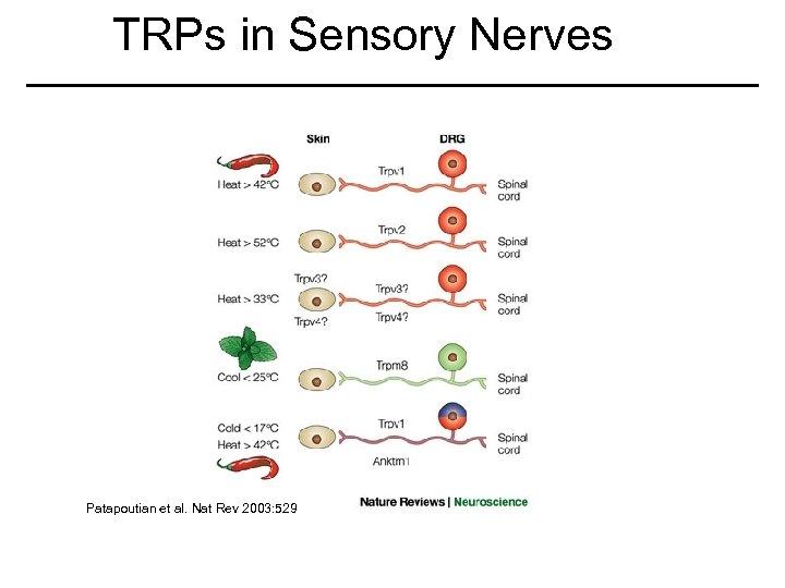 TRPs in Sensory Nerves Patapoutian et al. Nat Rev 2003: 529