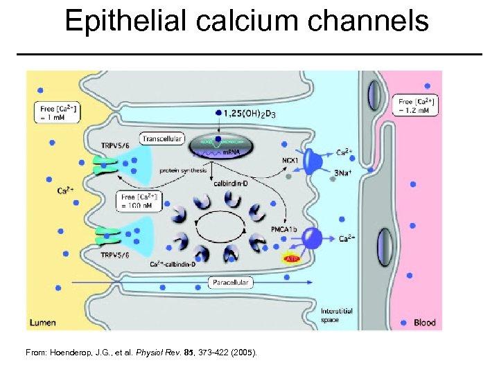 Epithelial calcium channels From: Hoenderop, J. G. , et al. Physiol Rev. 85, 373