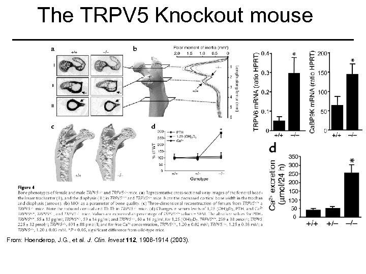 The TRPV 5 Knockout mouse From: Hoenderop, J. G. , et al. J. Clin.