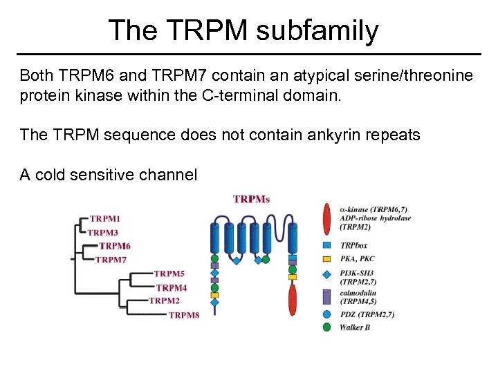 The TRPM subfamily Both TRPM 6 and TRPM 7 contain an atypical serine/threonine protein