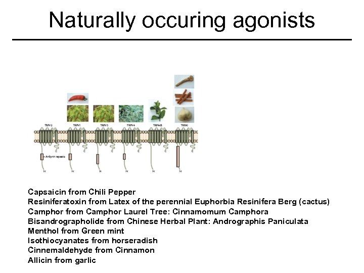 Naturally occuring agonists Capsaicin from Chili Pepper Resiniferatoxin from Latex of the perennial Euphorbia