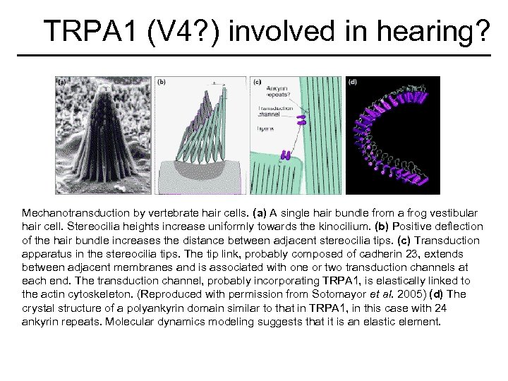 TRPA 1 (V 4? ) involved in hearing? Mechanotransduction by vertebrate hair cells. (a)