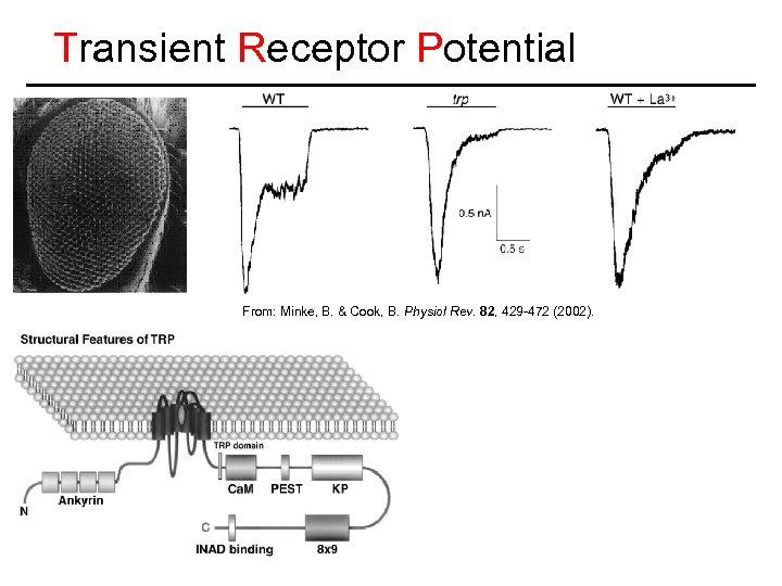 Transient Receptor Potential From: Minke, B. & Cook, B. Physiol Rev. 82, 429 -472