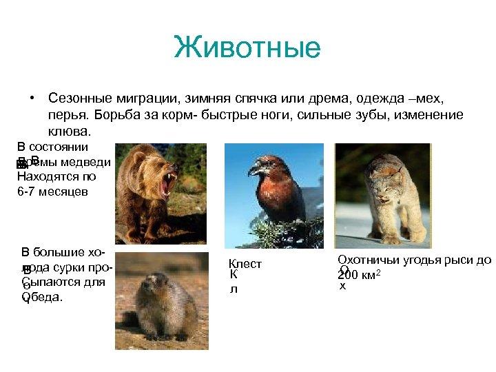 Животные • Сезонные миграции, зимняя спячка или дрема, одежда –мех, перья. Борьба за корм-