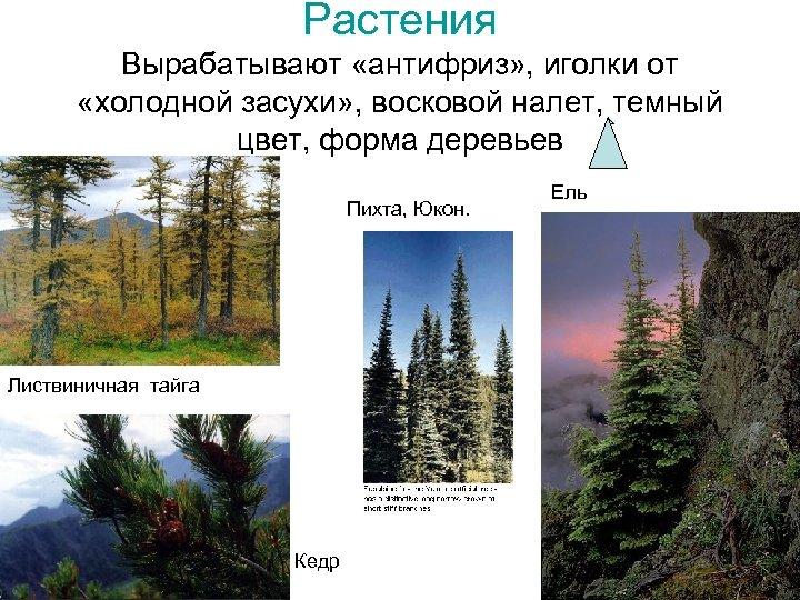 Растения Вырабатывают «антифриз» , иголки от «холодной засухи» , восковой налет, темный цвет, форма