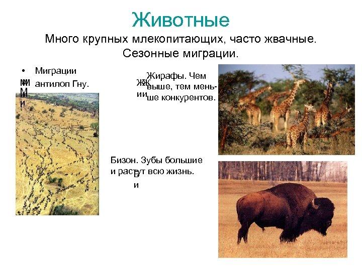 Животные Много крупных млекопитающих, часто жвачные. Сезонные миграции. • Миграции М антилоп Гну. М