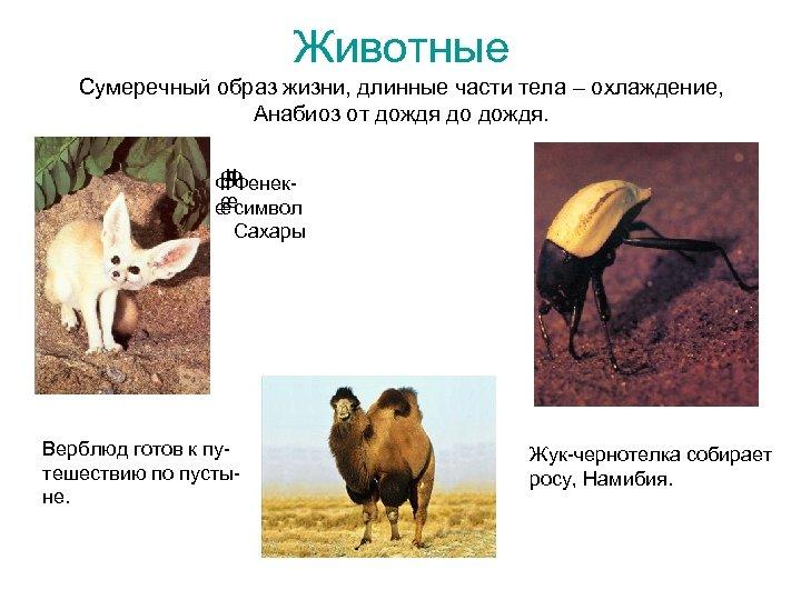 Животные Сумеречный образ жизни, длинные части тела – охлаждение, Анабиоз от дождя до дождя.