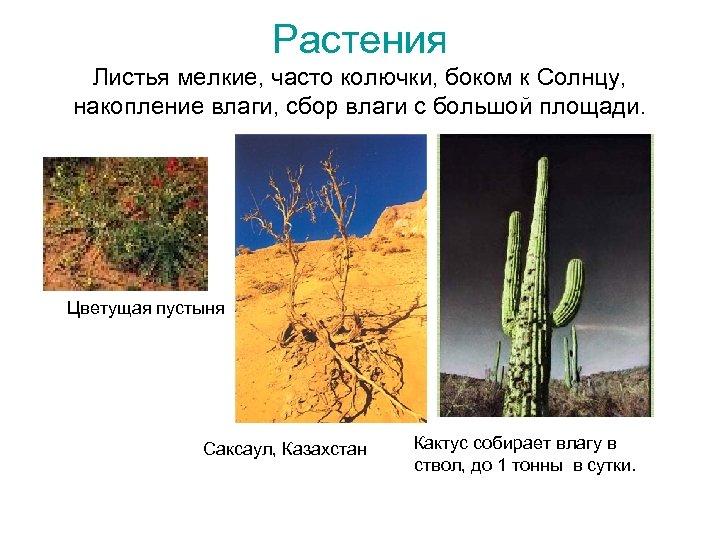 Растения Листья мелкие, часто колючки, боком к Солнцу, накопление влаги, сбор влаги с большой