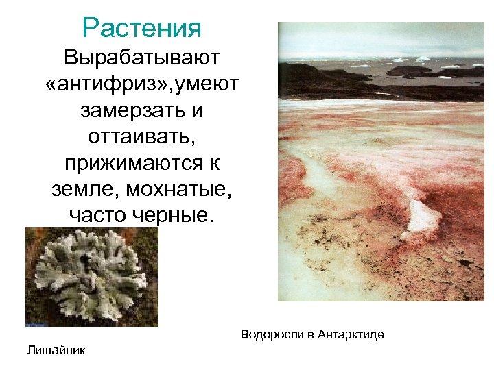 Растения Вырабатывают «антифриз» , умеют замерзать и оттаивать, прижимаются к земле, мохнатые, часто черные.