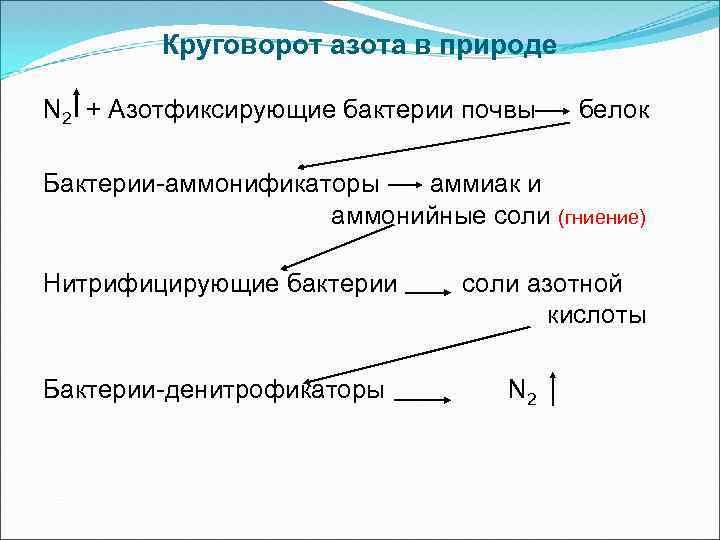 Круговорот азота в природе N 2 + Азотфиксирующие бактерии почвы белок Бактерии-аммонификаторы аммиак и