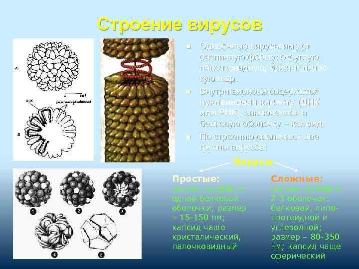 Строение вирусов n n n Одиночные вирусы имеют различную форму: округлую, палочковидную, кристаллическую и