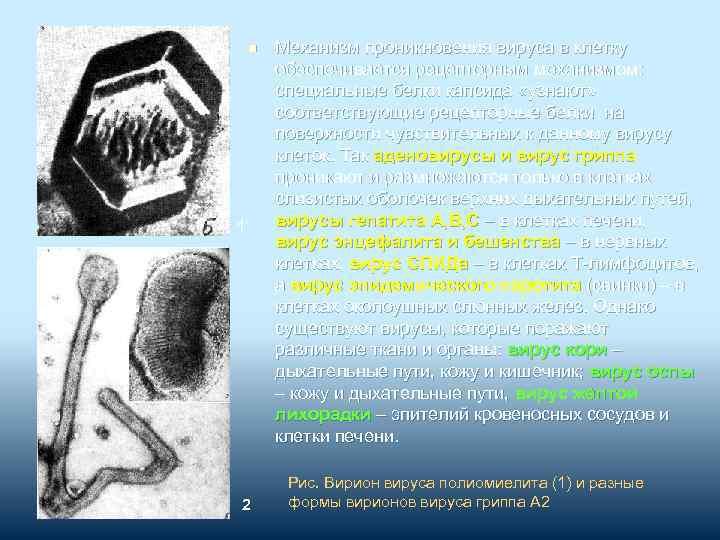 n 1 2 Механизм проникновения вируса в клетку обеспечивается рецепторным механизмом: специальные белки капсида