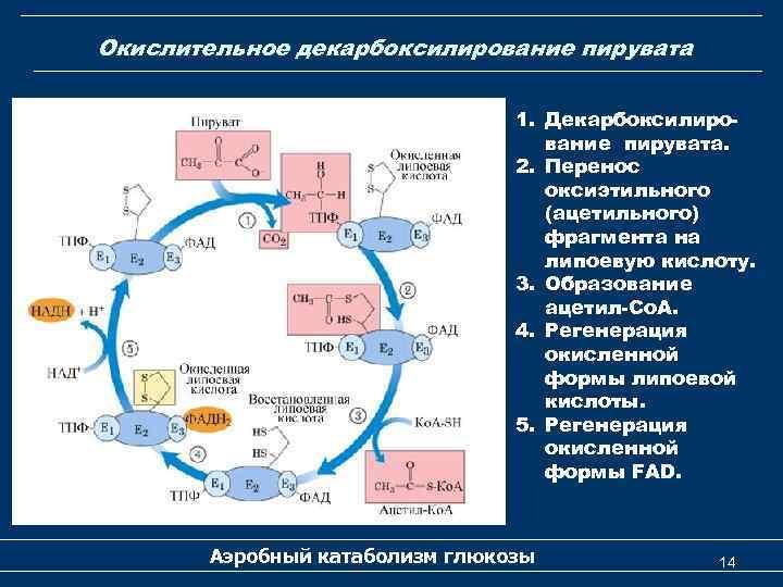 Окислительное декарбоксилирование пирувата 1. Декарбоксилирование пирувата. 2. Перенос оксиэтильного (ацетильного) фрагмента на липоевую кислоту.