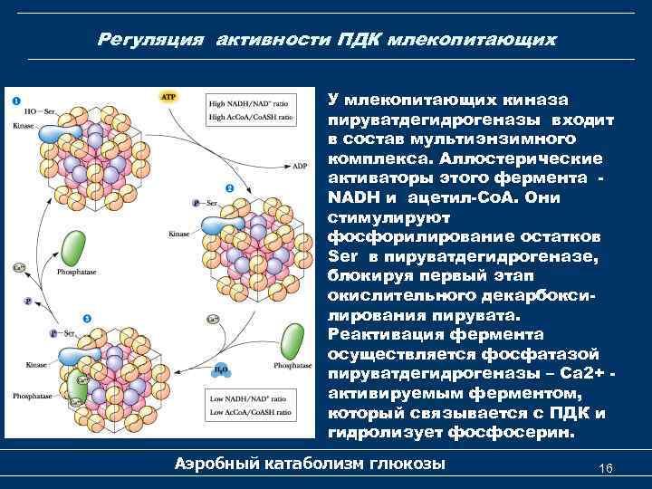 Регуляция активности ПДК млекопитающих У млекопитающих киназа пируватдегидрогеназы входит в состав мультиэнзимного комплекса. Аллостерические