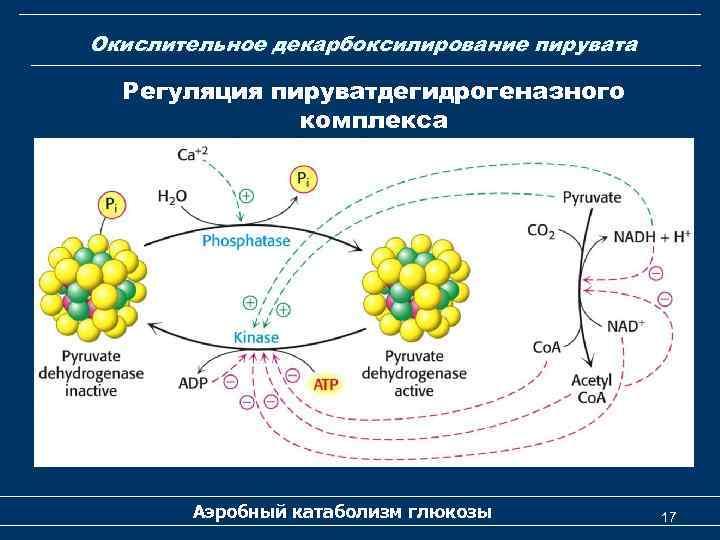 Окислительное декарбоксилирование пирувата Регуляция пируватдегидрогеназного комплекса Аэробный катаболизм глюкозы 17