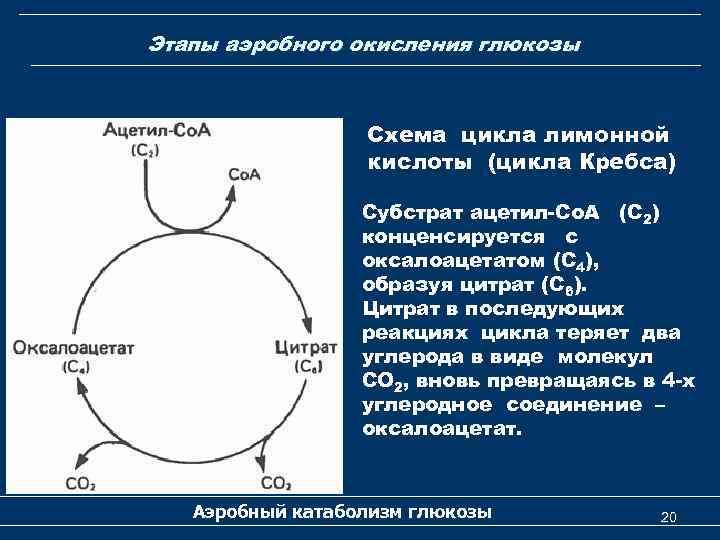 Этапы аэробного окисления глюкозы Схема цикла лимонной кислоты (цикла Кребса) Субстрат ацетил-Со. А (С