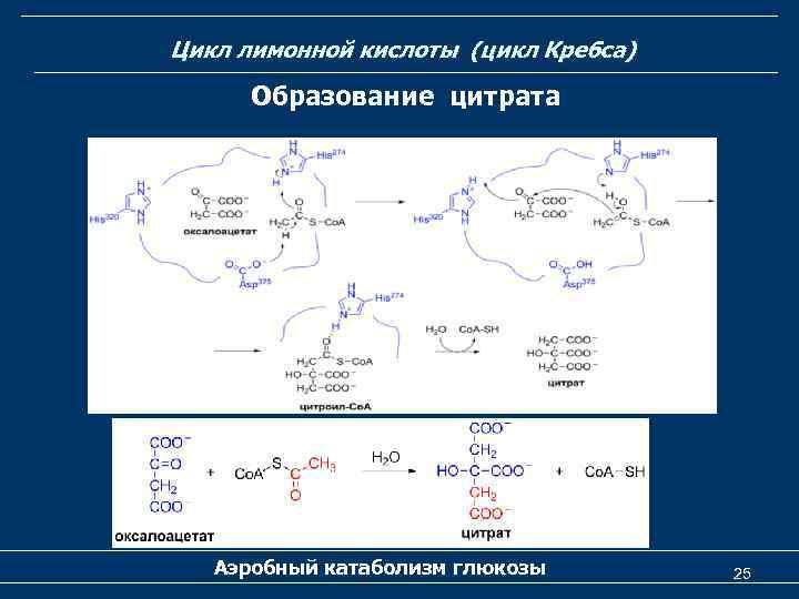 Цикл лимонной кислоты (цикл Кребса) Образование цитрата Аэробный катаболизм глюкозы 25
