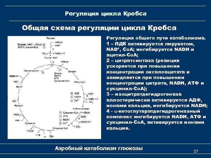 Регуляция цикла Кребса Общая схема регуляции цикла Кребса Регуляция общего пути катаболизма. 1 –