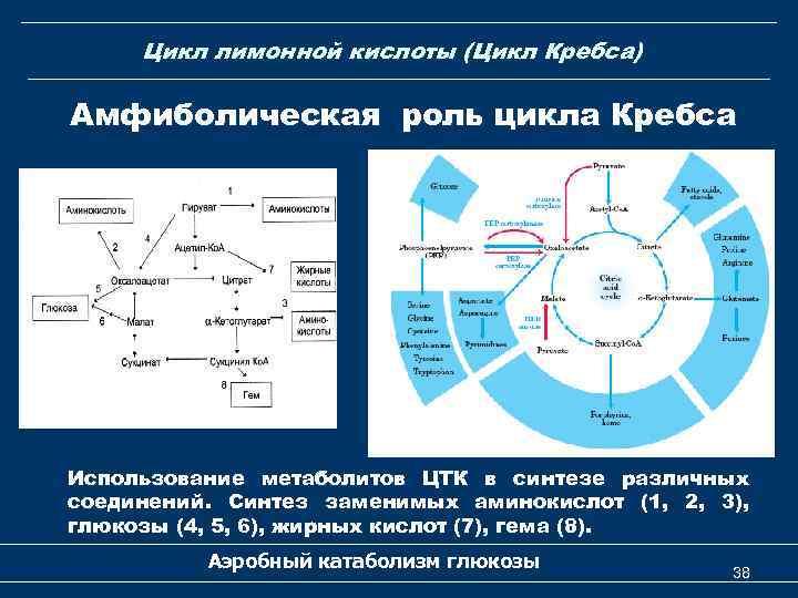 Цикл лимонной кислоты (Цикл Кребса) Амфиболическая роль цикла Кребса Использование метаболитов ЦТК в синтезе