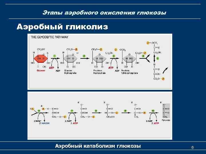 Этапы аэробного окисления глюкозы Аэробный гликолиз Аэробный катаболизм глюкозы 6
