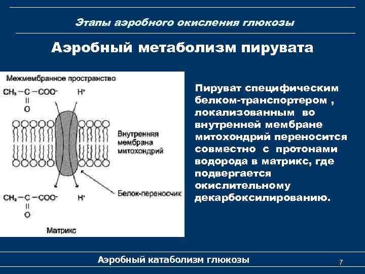 Этапы аэробного окисления глюкозы Аэробный метаболизм пирувата Пируват специфическим белком-транспортером , локализованным во внутренней