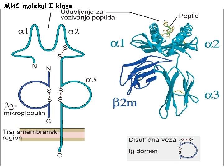 MHC molekul I klase