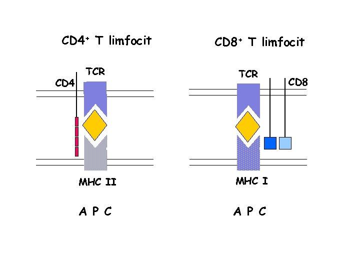 CD 4+ T limfocit CD 4 TCR CD 8+ T limfocit TCR MHC II