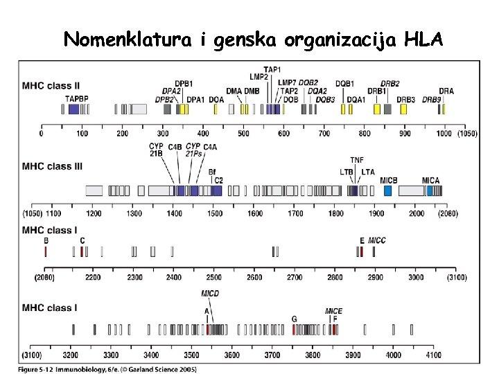 Nomenklatura i genska organizacija HLA Figure 5 -12
