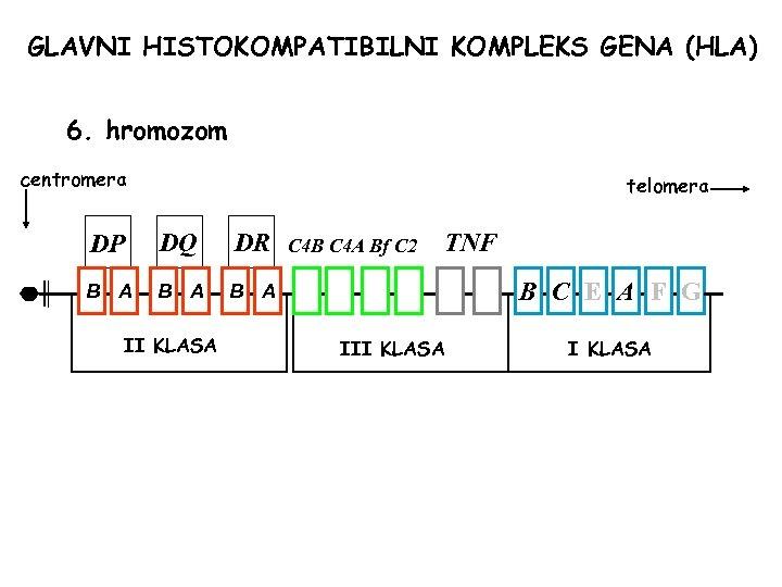 GLAVNI HISTOKOMPATIBILNI KOMPLEKS GENA (HLA) 6. hromozom centromera telomera DP DQ DR B A