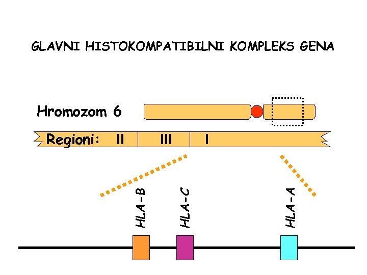 GLAVNI HISTOKOMPATIBILNI KOMPLEKS GENA Hromozom 6 I HLA-A III HLA-C II HLA-B Regioni: