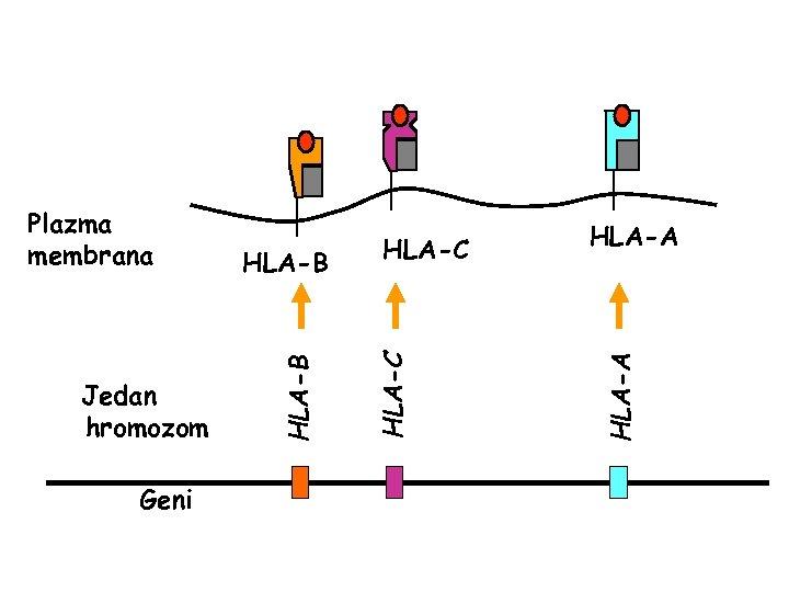 Geni HLA-A HLA-C Jedan hromozom HLA-B Plazma membrana