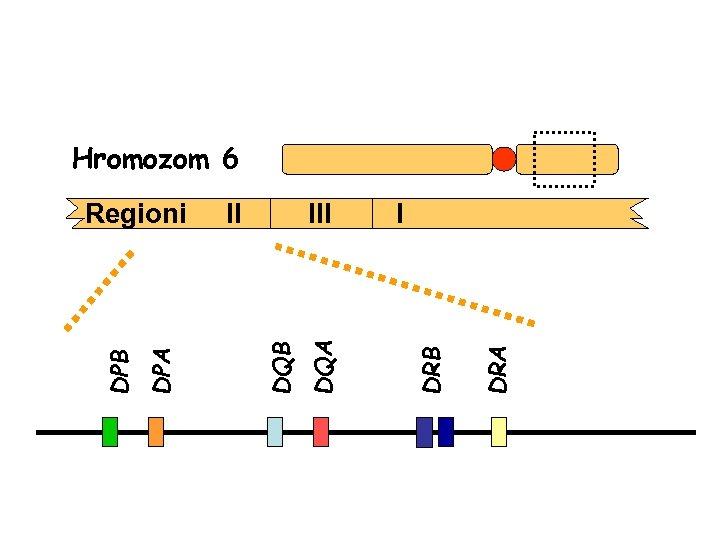 Hromozom 6 DRA I DRB III DQA II DQB DPA DPB Regioni