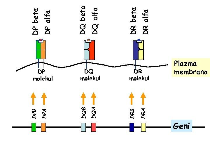 DRA DQ molekul DRB DQA DQB DPA DPB DP molekul DR molekul Plazma membrana