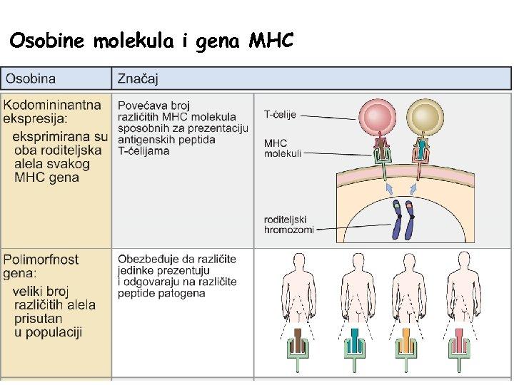 Osobine molekula i gena MHC